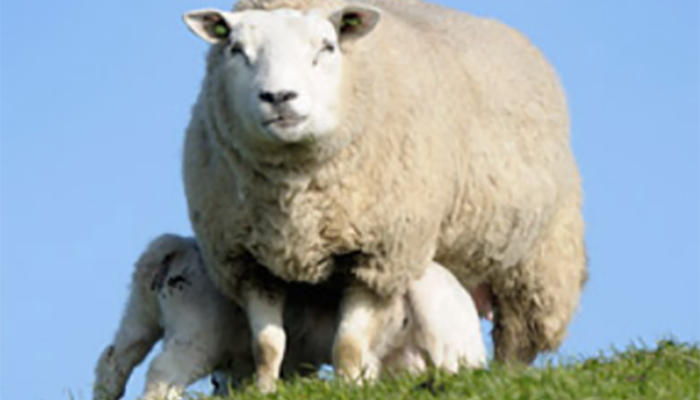 info_hub_sheep_700px