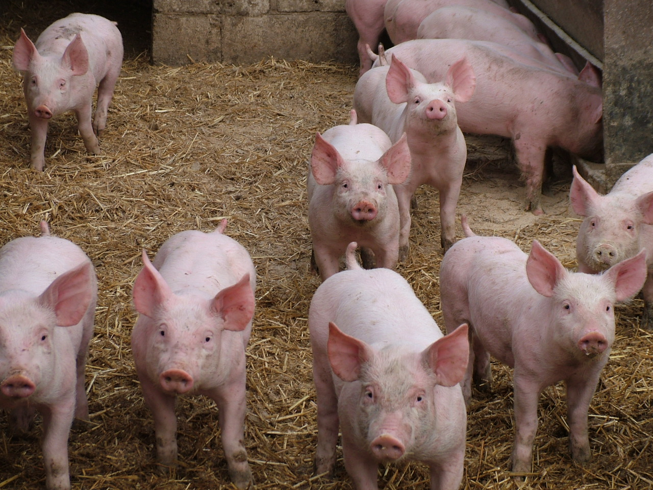 850-900 7kg Weaners For Sale