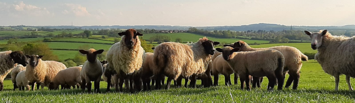 Finished Lambs and Cull Ewes