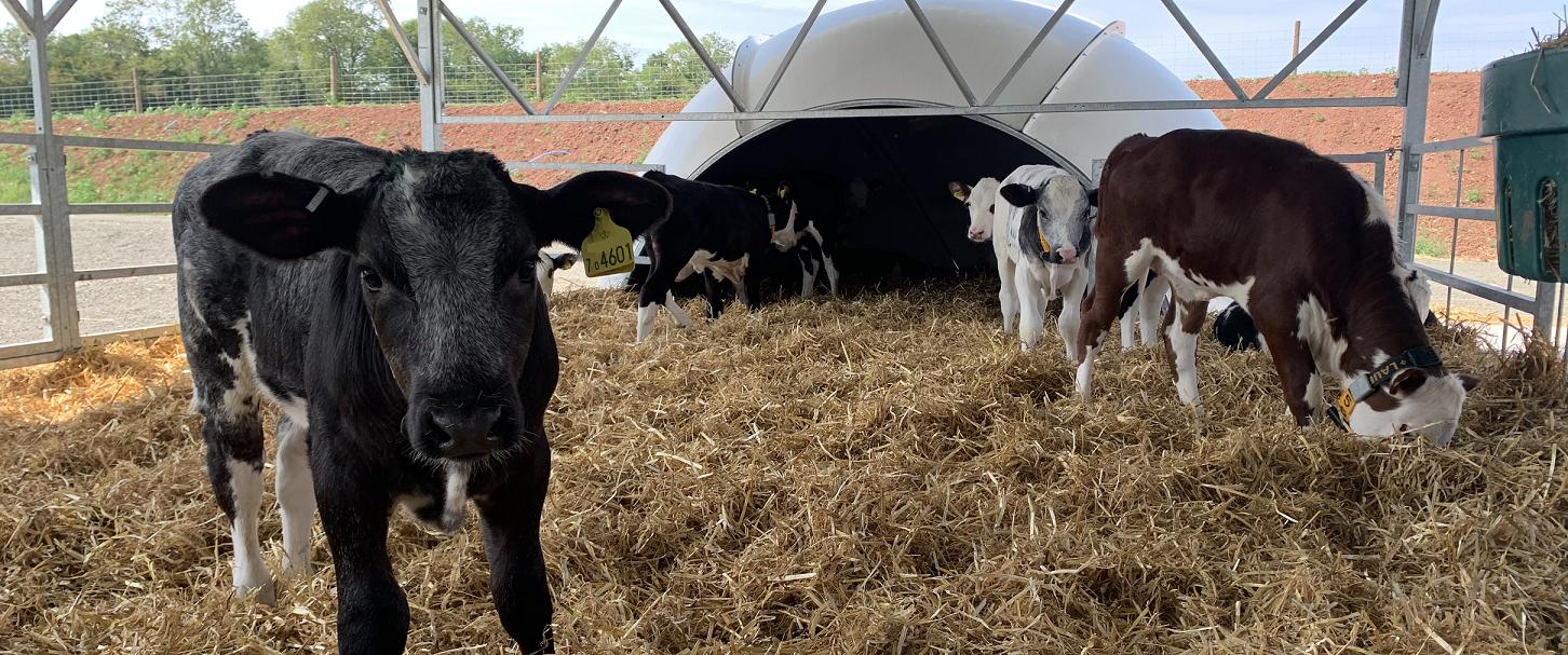 baby reared calves