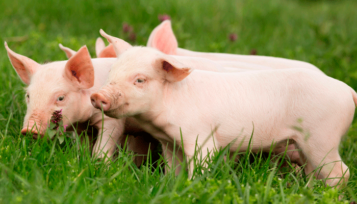 3-piglets-grass-gallery-resized