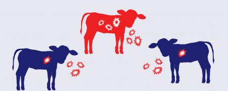 BVD immunosuppression infographic