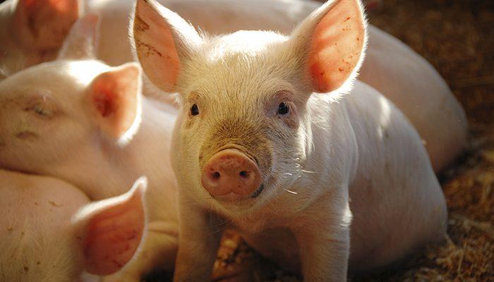 Pig-website-photo-700px