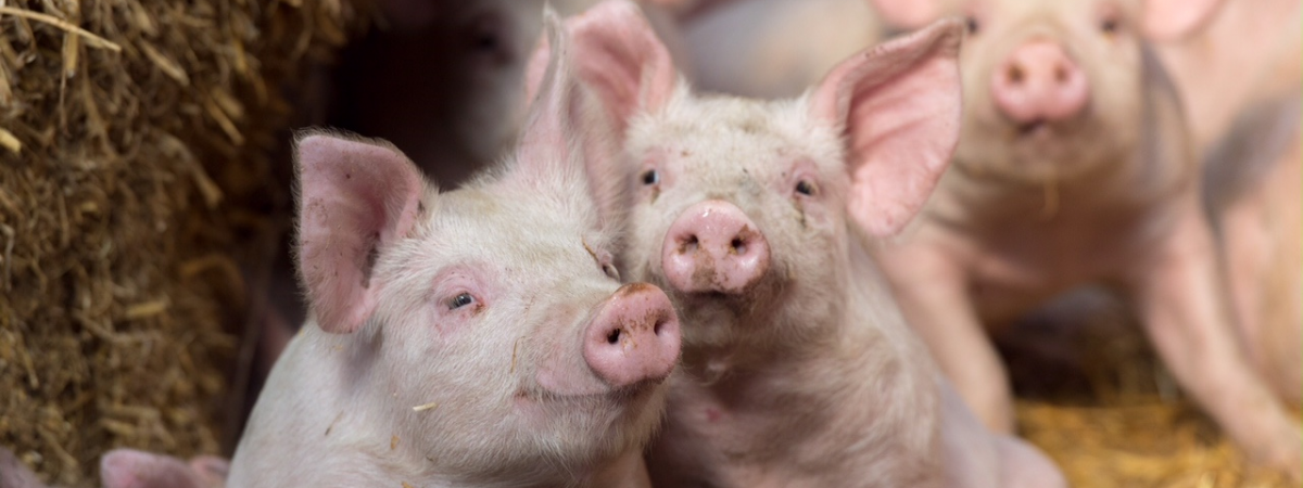 pigs_cropped